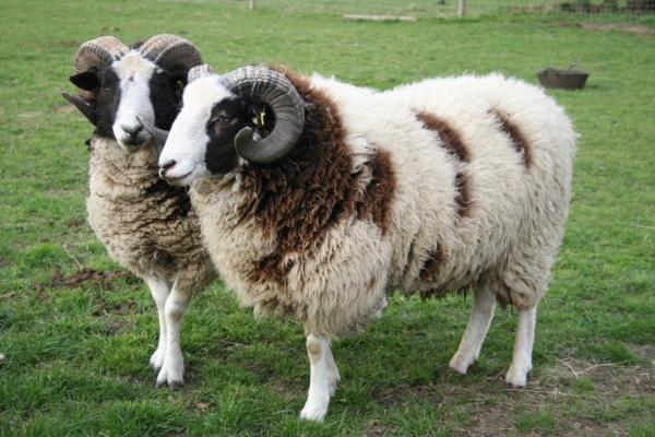 J-sheep